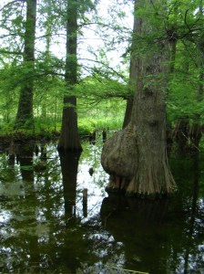 Bald Cypress Swamp Trees with Knees