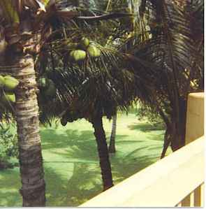 Coconut Trees close by