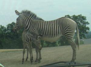 Grevy Zebra and pony
