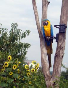Colorful Macaw watches over activities.