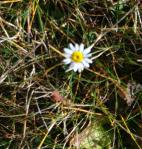 One Surviving Daisy