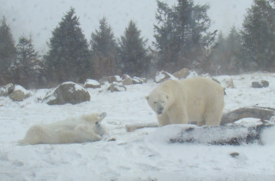 Polar bears play in the snow.