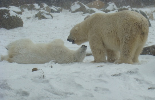 Two polar bears roll in the snow.