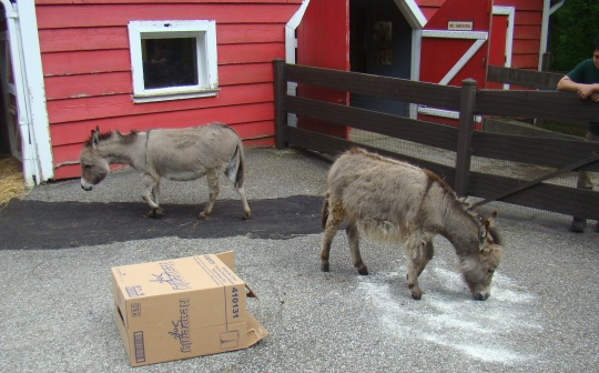 Donkeys play with powder and box at the Red Barn.