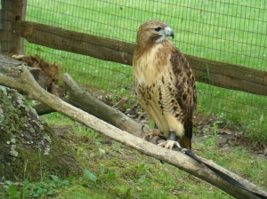 This red-railed hawk travels as a Good Zoo representative from Raptor Protection.