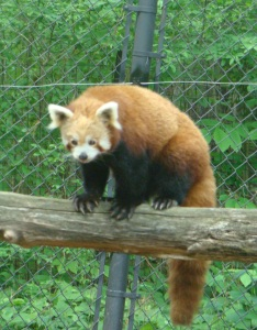 The Red Panda is a zoo favorite.