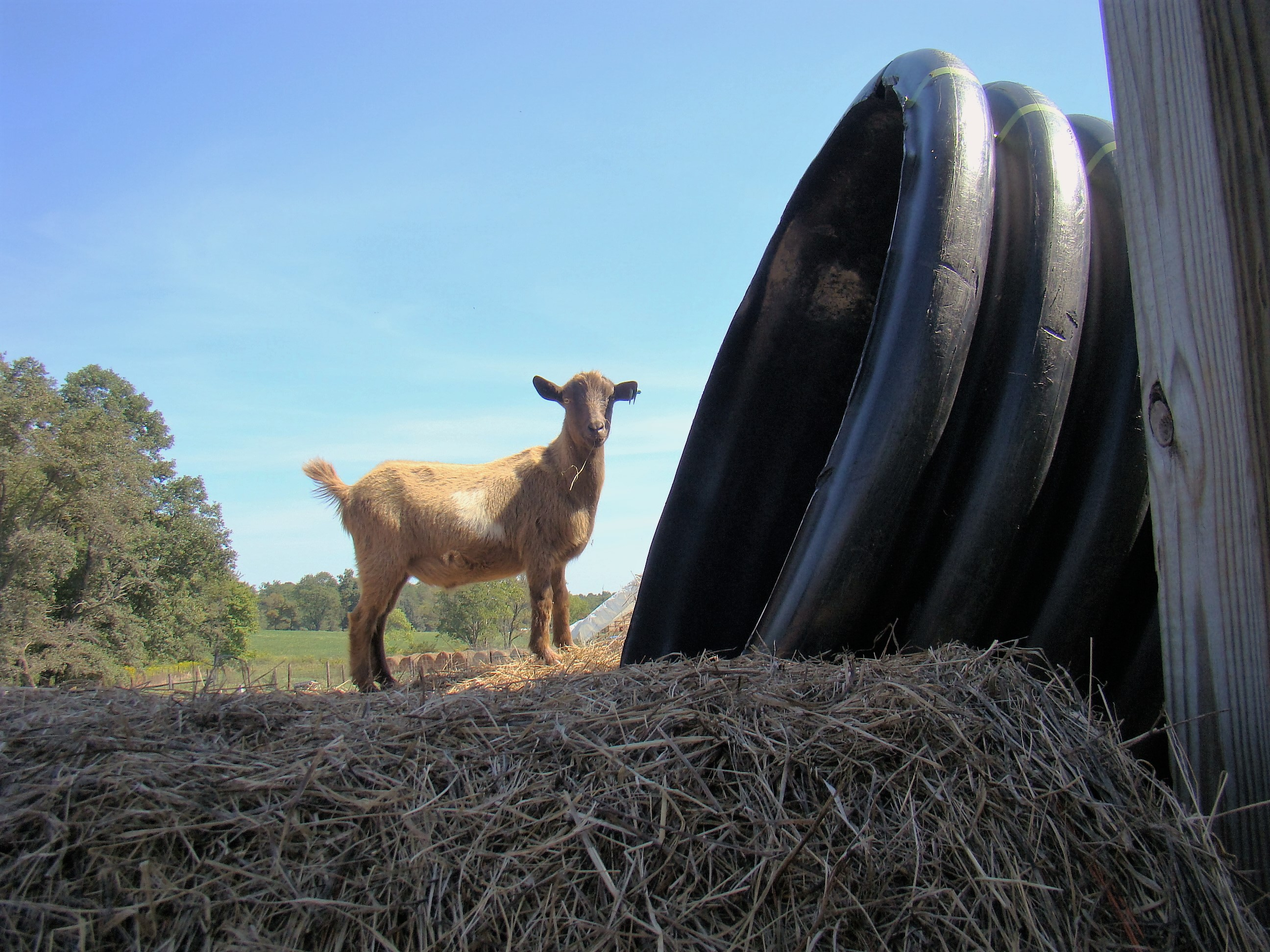 This goat stands on top of a large bale of round ray and peers into the plastic pipe used as a slide. Should he or shouldn't he?