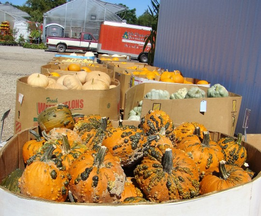 All kinds of pumpkins are waiting to be taken home for decorations.