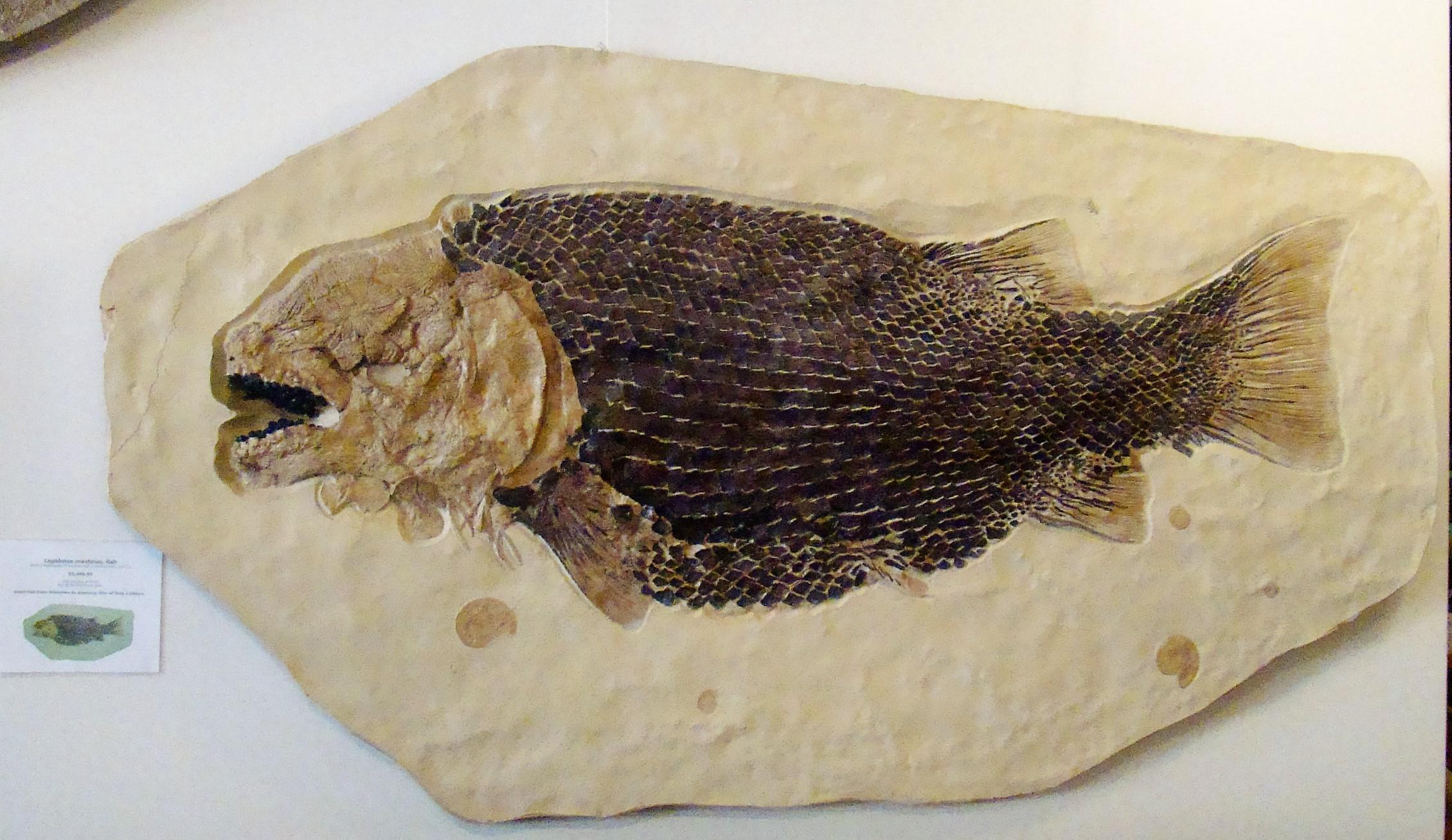 SMART Fish Fossil