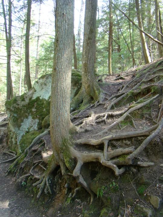 Cedar Falls roots