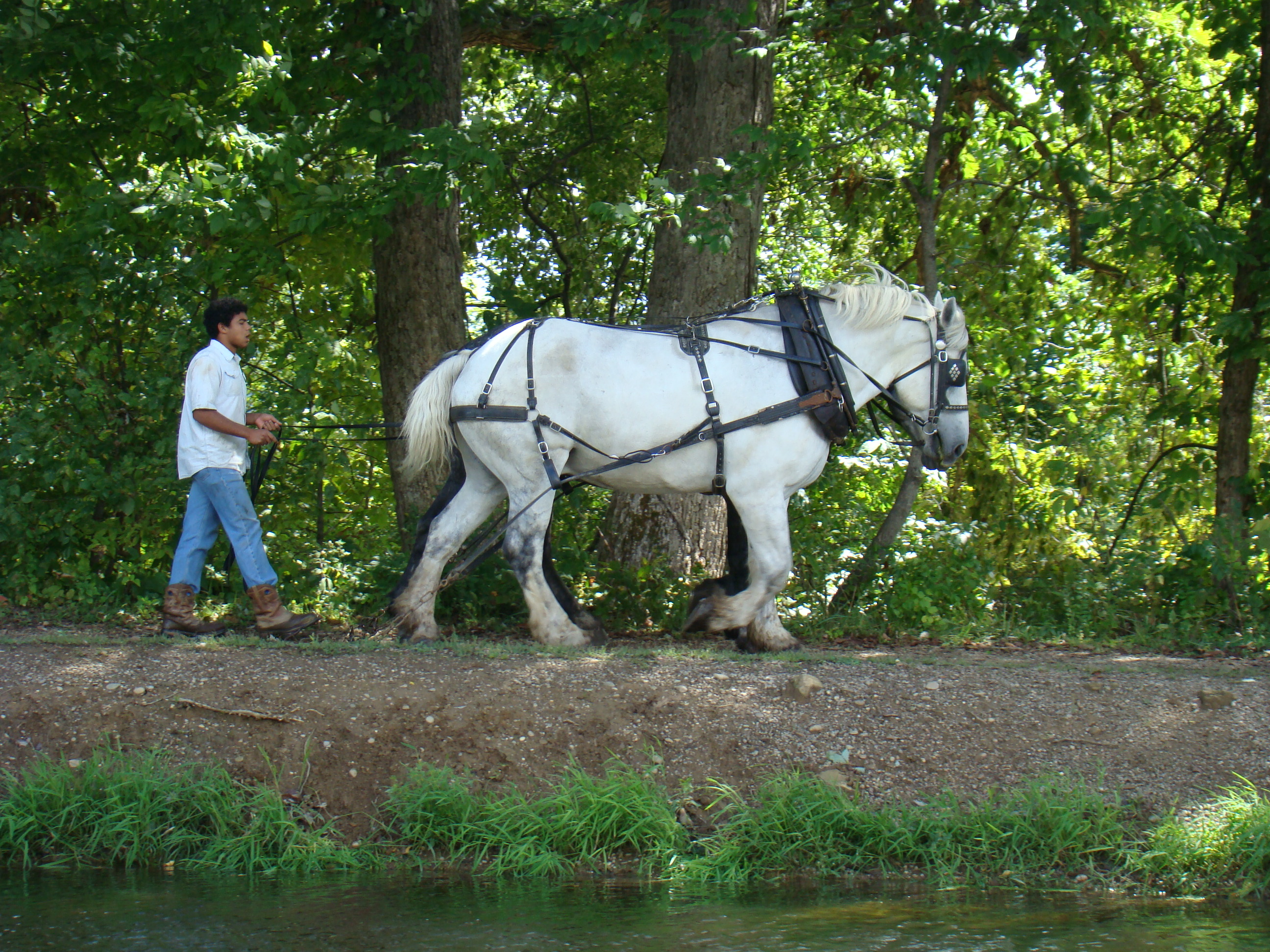 Monticello hogie walks horses