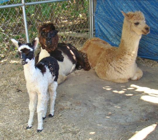 alpaca-baby-don-diego