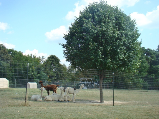 alpaca-herd-in-shade