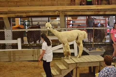 alpaca-obstacle-course