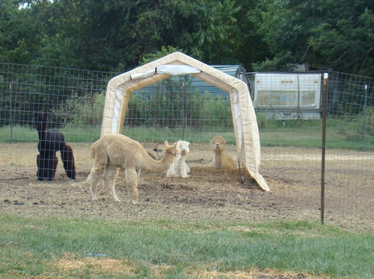 alpaca-shade-hut