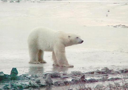 bobbie-polar-bear