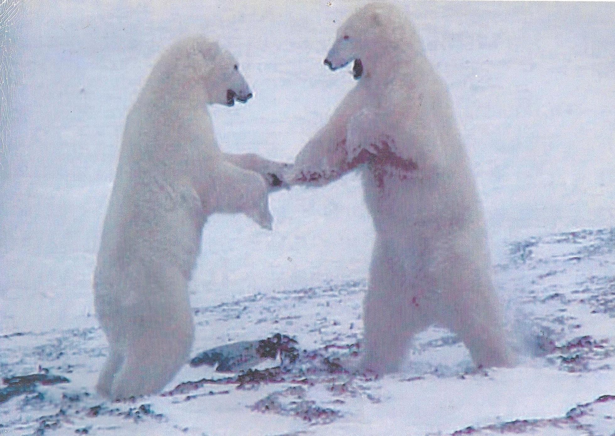bobbie-polar-bears