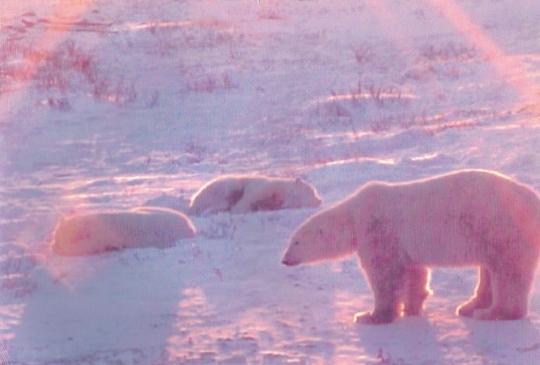 bobbie-three-polar-bears-001-2