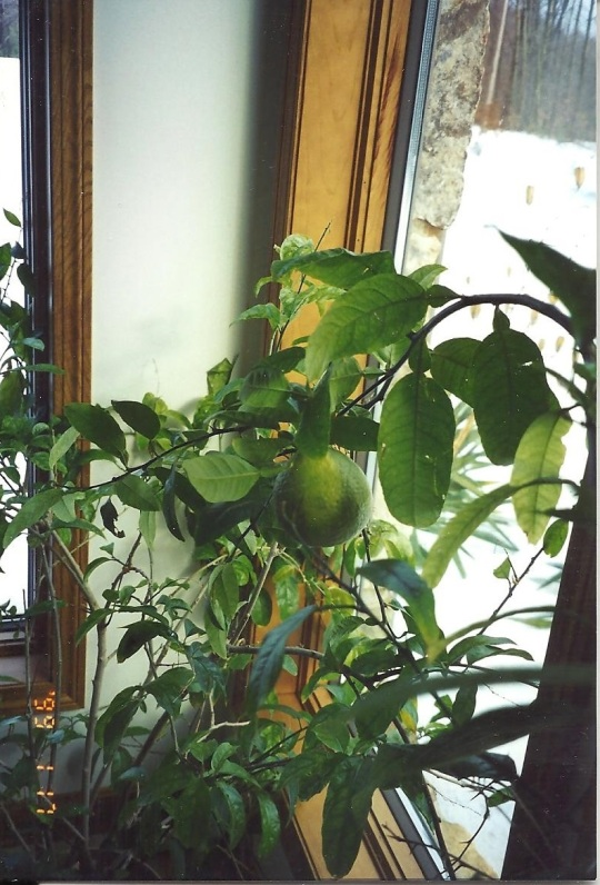 Pat lime tree 001