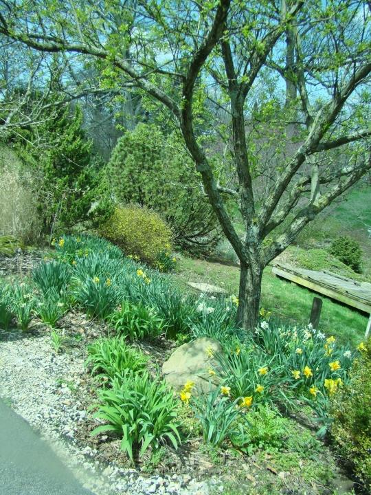 Dawes Daffodil setting