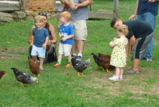 Hocking Feeding Chickens