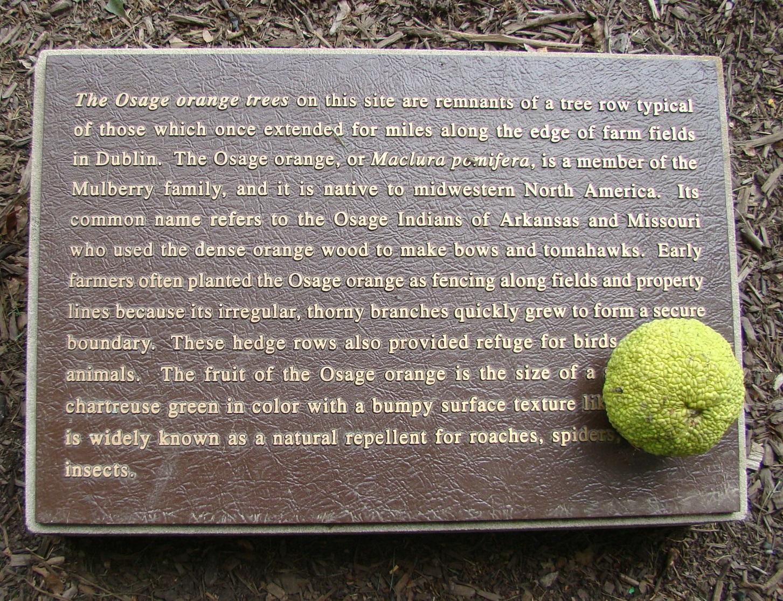 Corn Orsage Orange Fruit