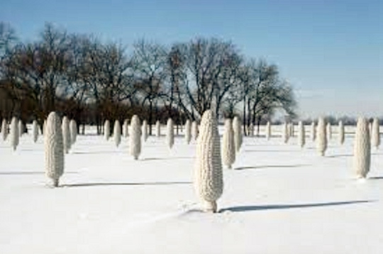Field of Corn in Snow