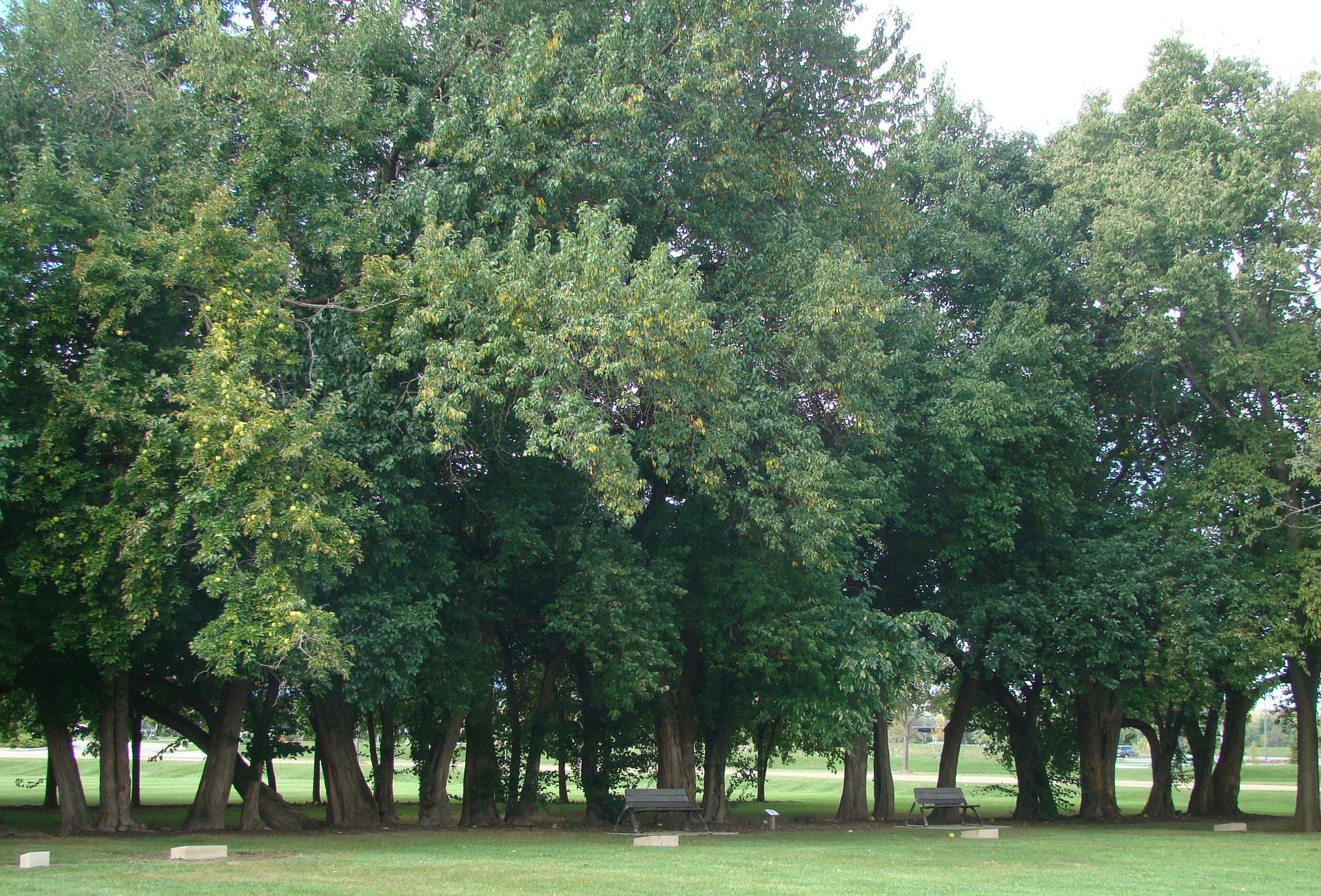 Field of Corn Osage Orange Trees