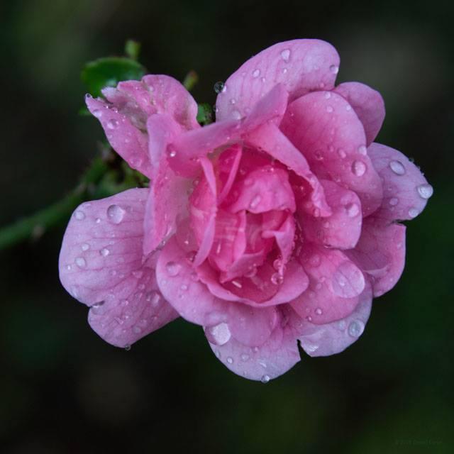 Daniel Late Blooming Rose