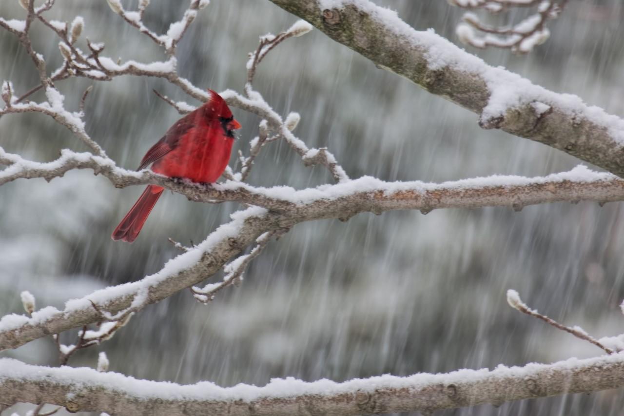 DanielNorth American male Cardinal in snow