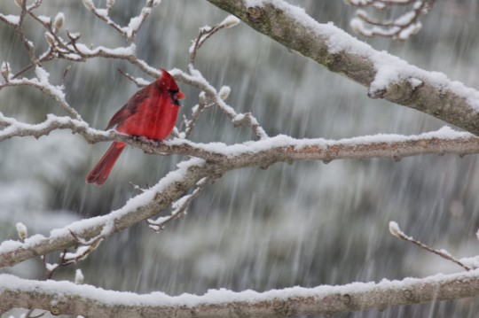 DanielNorth American male Cardinal in snow