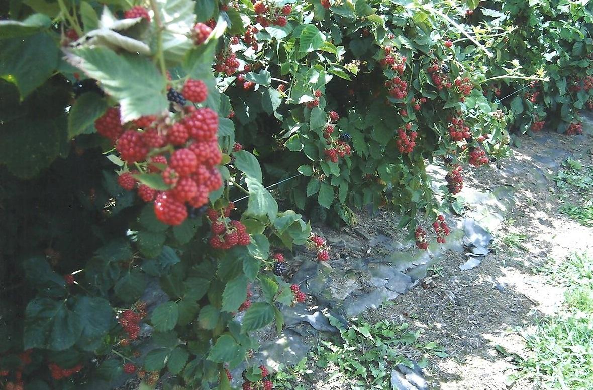 Jo Raspberries 001