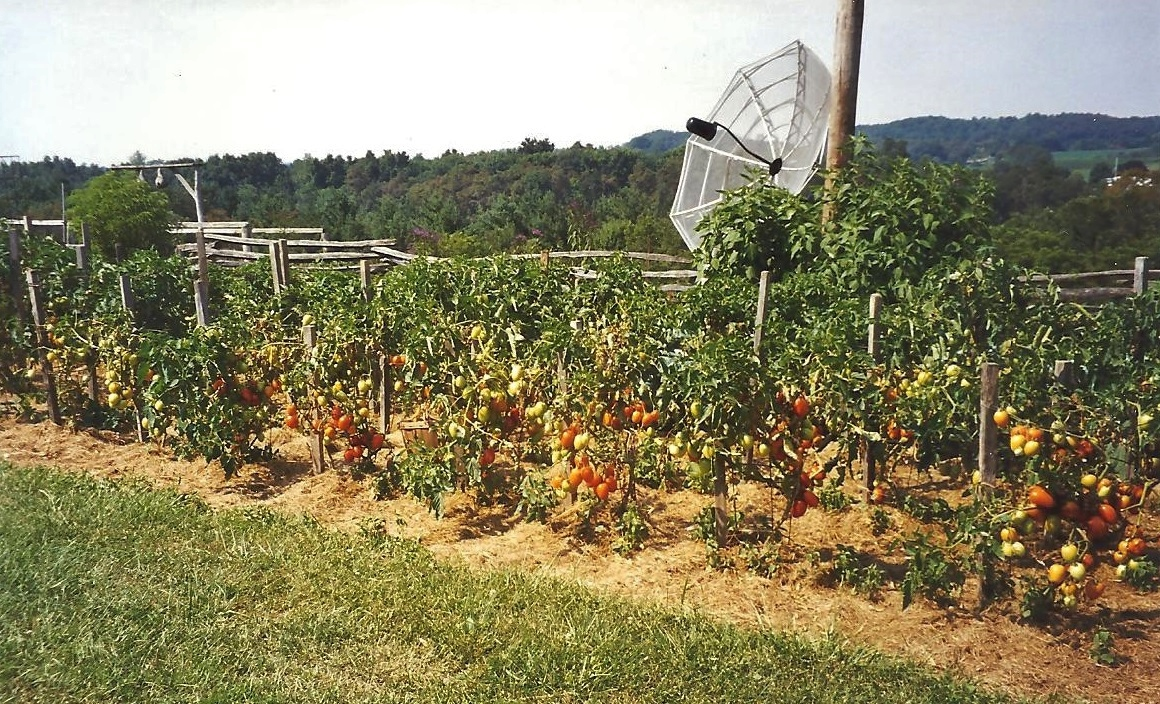 Jo Tomatoes 001